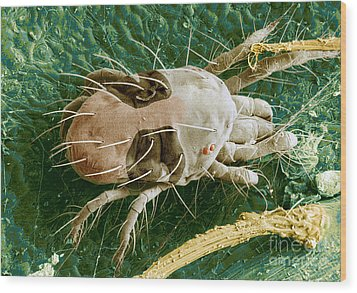 Sem Of Two-spotted Spider Mite Wood Print by Science Source