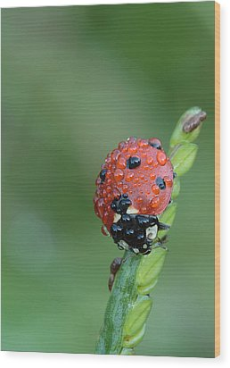 Seven-spotted Lady Beetle On Grass With Dew Wood Print by Daniel Reed