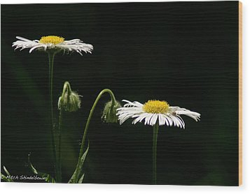 Wood Print featuring the photograph Shasta Daisies by Mitch Shindelbower