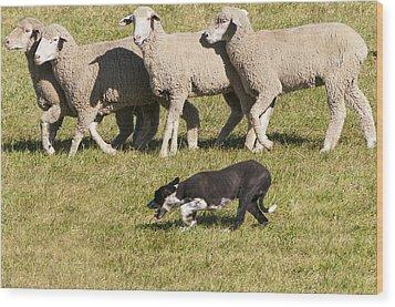 Sheep Dog Trials Wood Print