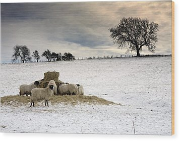 Sheep In Field Of Snow, Northumberland Wood Print by John Short