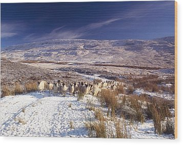 Sheep In Snow, Glenshane, Co Derry Wood Print by The Irish Image Collection