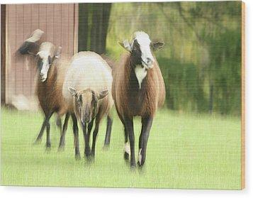 Sheep On The Run Wood Print by Karol Livote