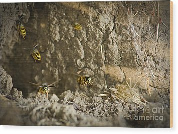 Shift Change Yellow-jacket Wasps Flying Out To Forage As Others Return To The Nest Wood Print by Andy Smy