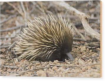 Short-beaked Echidna Wood Print by Matthew Oldfield