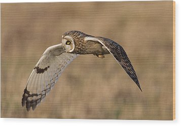 Short-eared Owl In Flight Wood Print