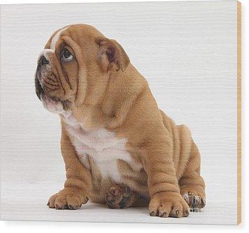 Shy Bulldog Pup Wood Print by Mark Taylor