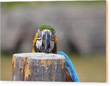 Shy Macaw Wood Print