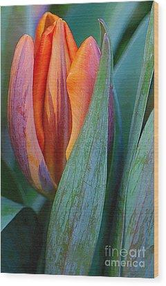 Shy Tulip Wood Print
