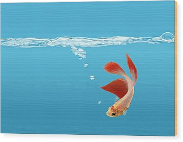 Siamese Fighting Fish Betta Splendens Wood Print by Don Hammond