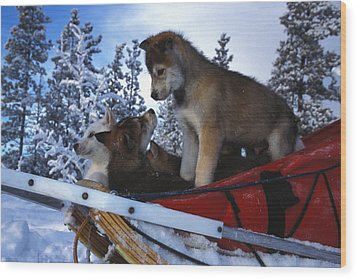 Siberian Husky Puppies Play On A Snow Wood Print by Nick Norman