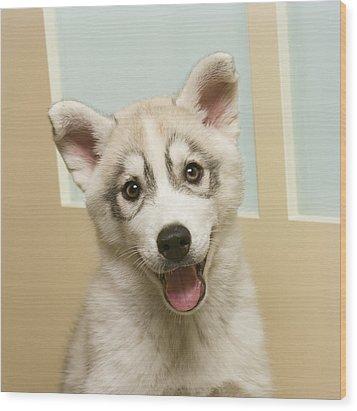 Siberian Husky Puppy In Front Of Door Wood Print by GK Hart/Vikki Hart