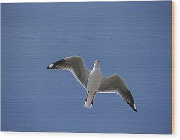 Silver Gull In Flight Wood Print by Jason Edwards