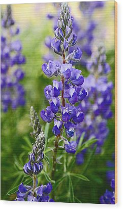 Silver Lupine Colorado Mountain Meadow Wood Print by The Forests Edge Photography - Diane Sandoval