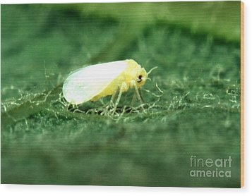 Silverleaf Whitefly Wood Print by Science Source
