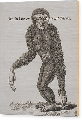 Simia Lar, Great Gibbon. Engraved By Wood Print by Ken Welsh