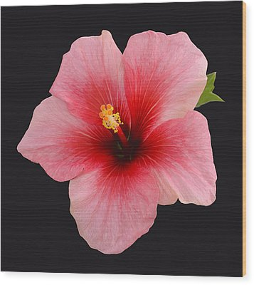 Single Hibiscus Flower On A Black Background Wood Print by Rosemary Calvert