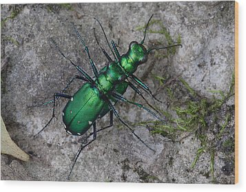 Six-spotted Tiger Beetles Copulating Wood Print by Daniel Reed
