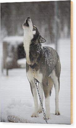 Sled Dog Howling Wood Print by Pete Ryan