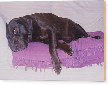Sleepy Chocolate Labrador Hooch Wood Print