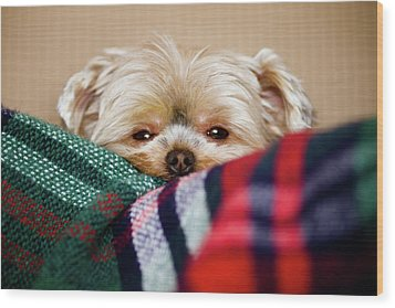 Sleepy Puppy In Blanket Wood Print by Gregory Ferguson