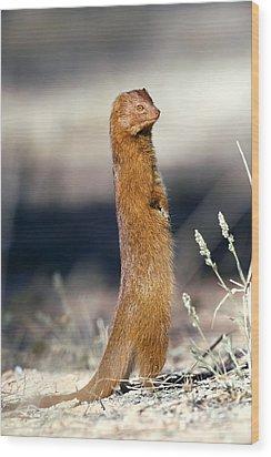 Slender Mongoose Wood Print by Tony Camacho