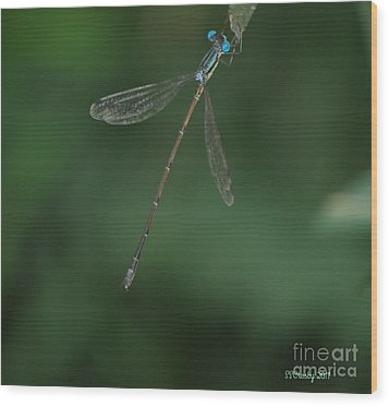 Slender Speadwing Damselfly Wood Print