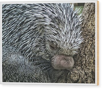 Wood Print featuring the photograph Slumbering Porcupine  by Yvonne Emerson AKA RavenSoul