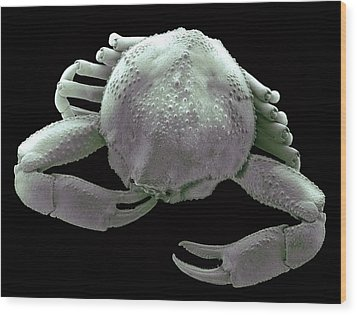 Small Asian Crab, Sem Wood Print by Steve Gschmeissner