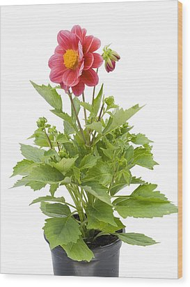 Wood Print featuring the photograph Small Flower In A Small Pot by Aleksandr Volkov