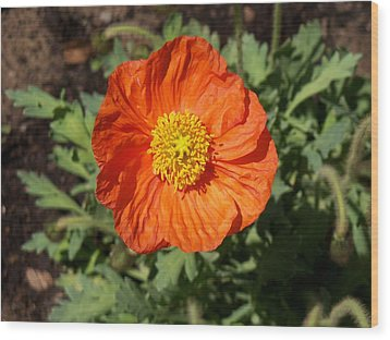 Small Orange Poppy Wood Print