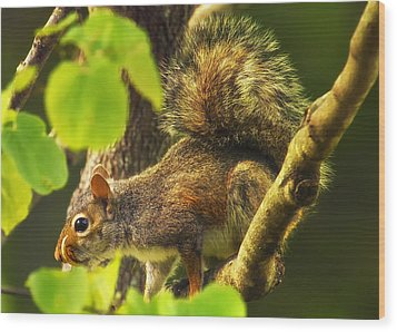 Snaggletooth Squirrel In Tree Wood Print by Bill Tiepelman