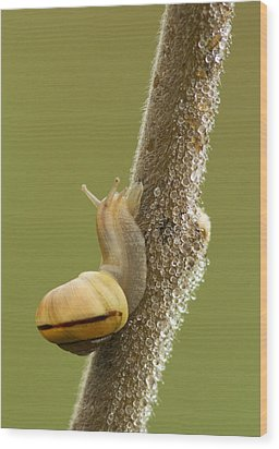 Snail In Dew Wood Print by Mircea Costina Photography