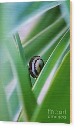 Wood Print featuring the photograph Snail On Yuca Leaf by Werner Lehmann