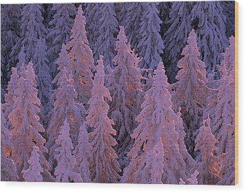 Snow Blanketed Fir Trees In Germanys Wood Print by Norbert Rosing