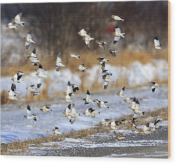 Snow Buntings Wood Print