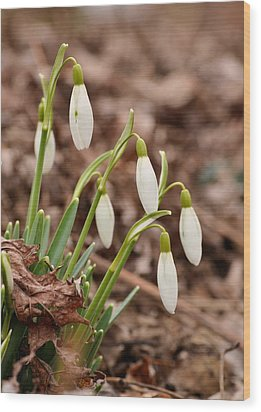 Snow Drops Wood Print