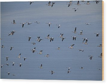 Snow Geese In Flight Wood Print by George Grall