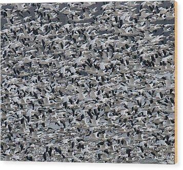 Snow Geese Takeoff Wood Print
