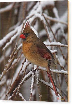 Wood Print featuring the photograph Snowbirds--cardinal Dsb025 by Gerry Gantt