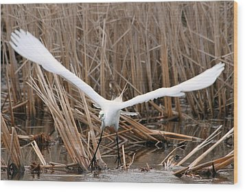 Wood Print featuring the photograph Snowy Egret Liftoff by Mark J Seefeldt