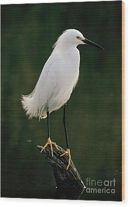 Wood Print featuring the photograph Snowy Egret Portrait by Doug Herr
