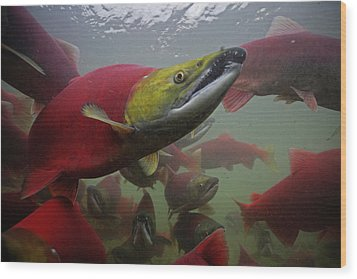 Sockeye Salmon Find Their Way Wood Print by Michael Melford