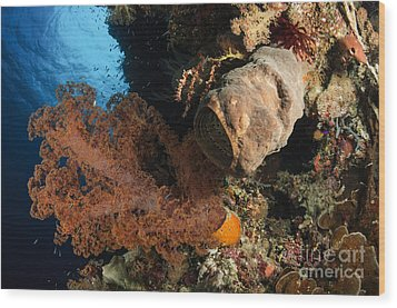 Soft Coral Seascape, Indonesia Wood Print by Todd Winner