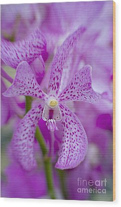 Soft On Orchids Wood Print by Jacky Parker
