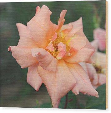 Sorbet Rose 2  Wood Print by Glenn Lawrence