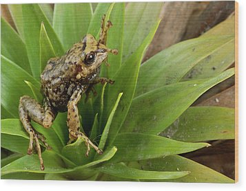 Southern Frog Pristimantis Sp, Newly Wood Print by Pete Oxford
