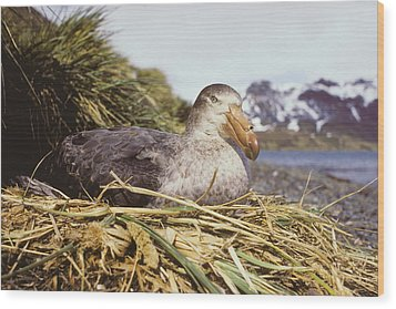 Southern Giant Petrel Wood Print by Peter Scoones
