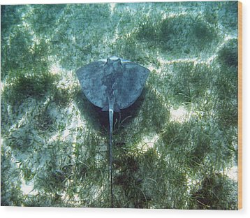 Wood Print featuring the photograph Southern Sting Ray In Flight by David Wohlfeil