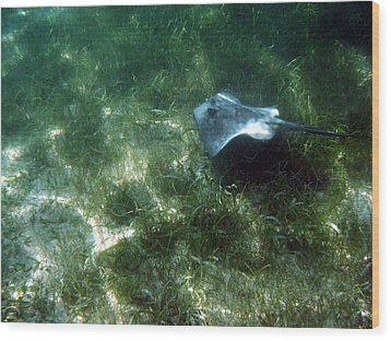 Wood Print featuring the photograph Southern Stingray Browsing About by David Wohlfeil
